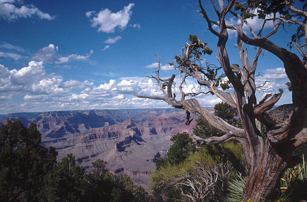 Old tree on the Canyon Rim stock photo