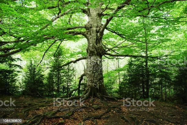 Old tree picture id1084289620?b=1&k=6&m=1084289620&s=612x612&h=1jn620fmdn3dgswewbpls7x72xq3yeb9eu8qjeq5w2q=