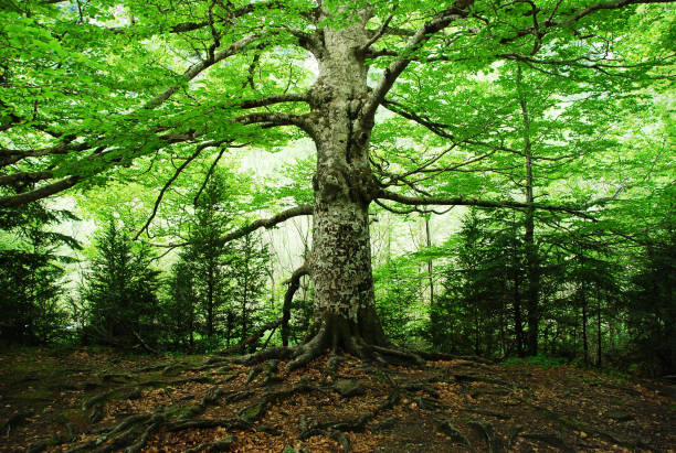 old tree - tree roots stock pictures, royalty-free photos & images