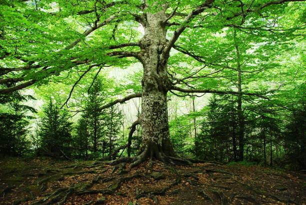 old tree - alberi foto e immagini stock