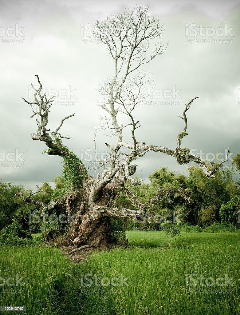 old tree stock photo