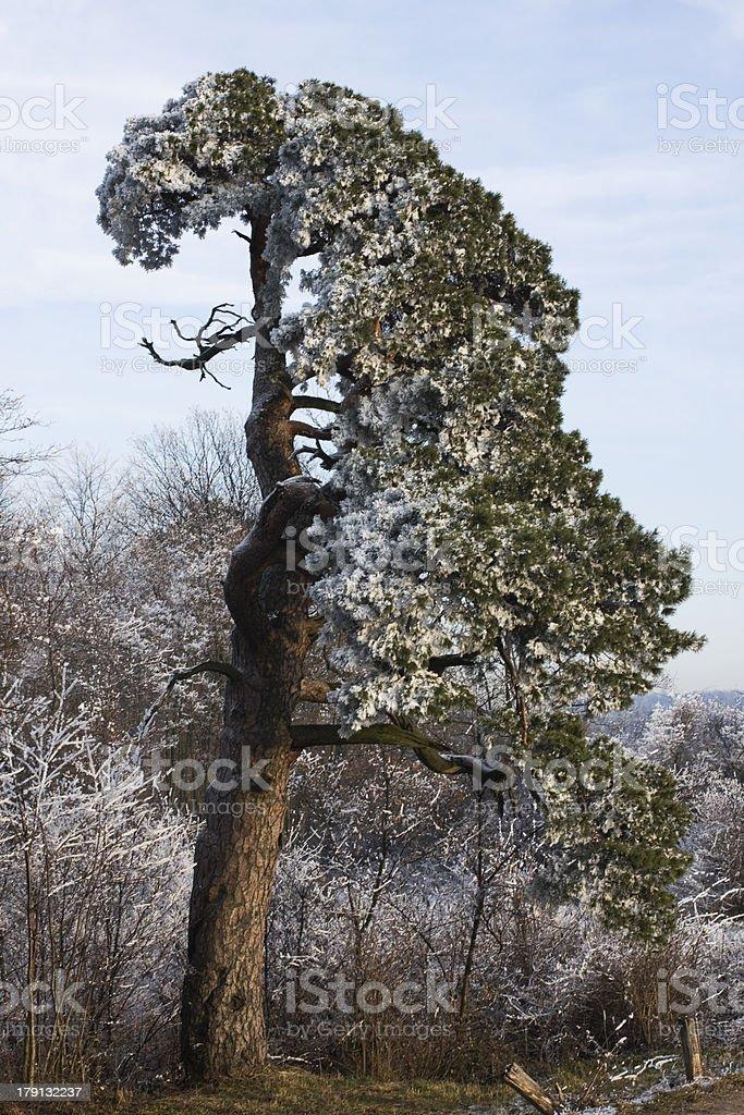 Old tree royalty-free stock photo