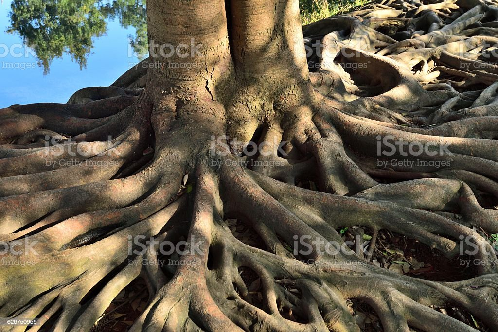 Old tree roots 02 – Foto
