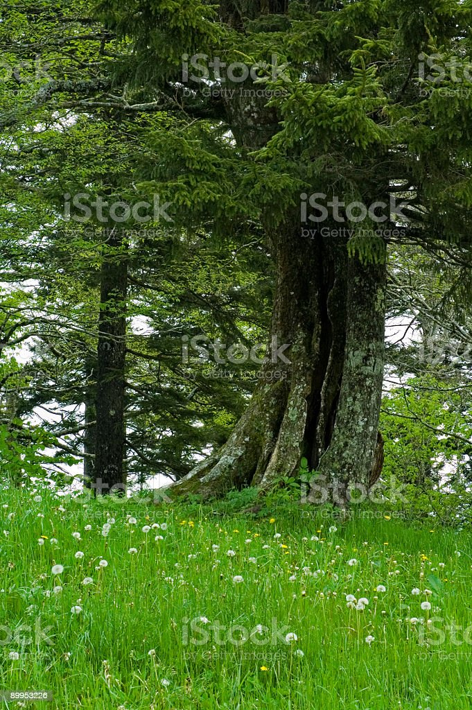 Old Tree, Spring, Great Smoky Mtns NP, TN royalty-free stock photo