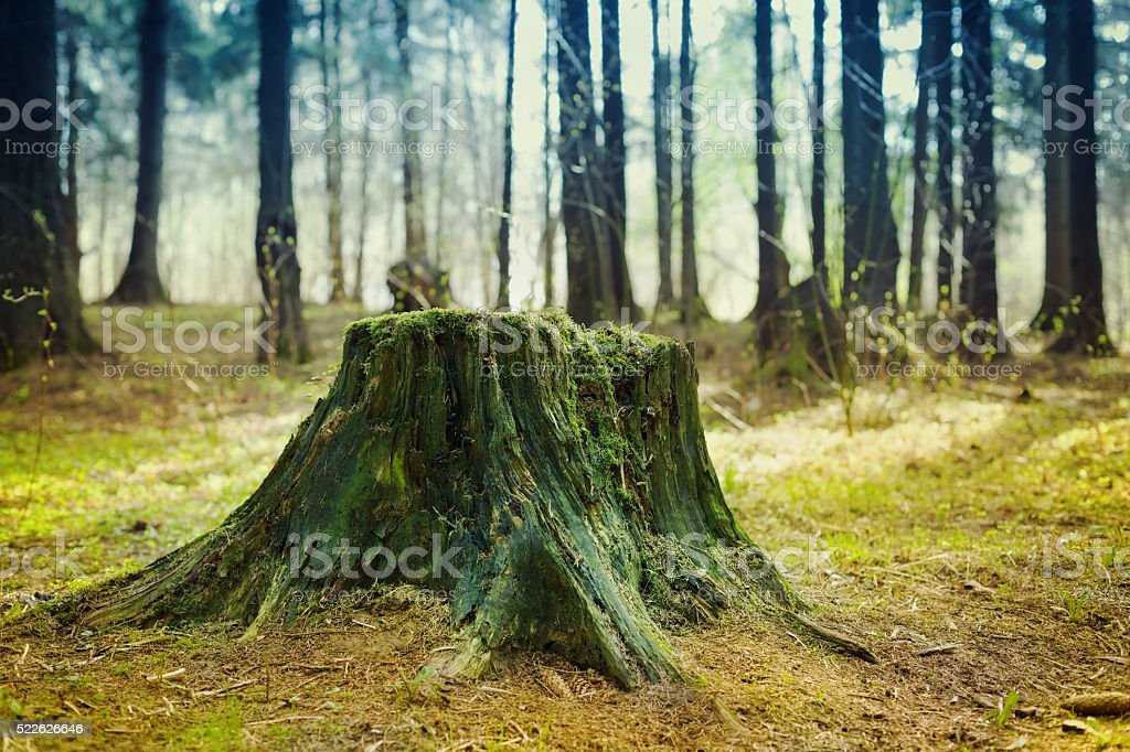 Old tree stump covered with moss in the coniferous forest stock photo