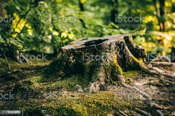 Photo of Old tree stump covered with moss in the forest
