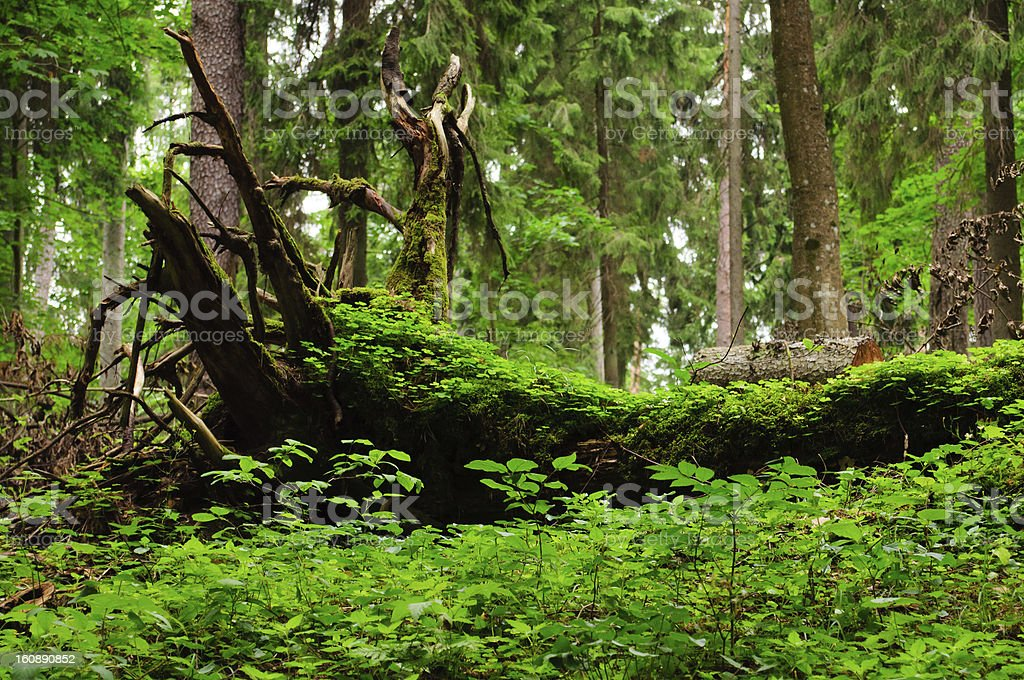 old tree trunk royalty-free stock photo