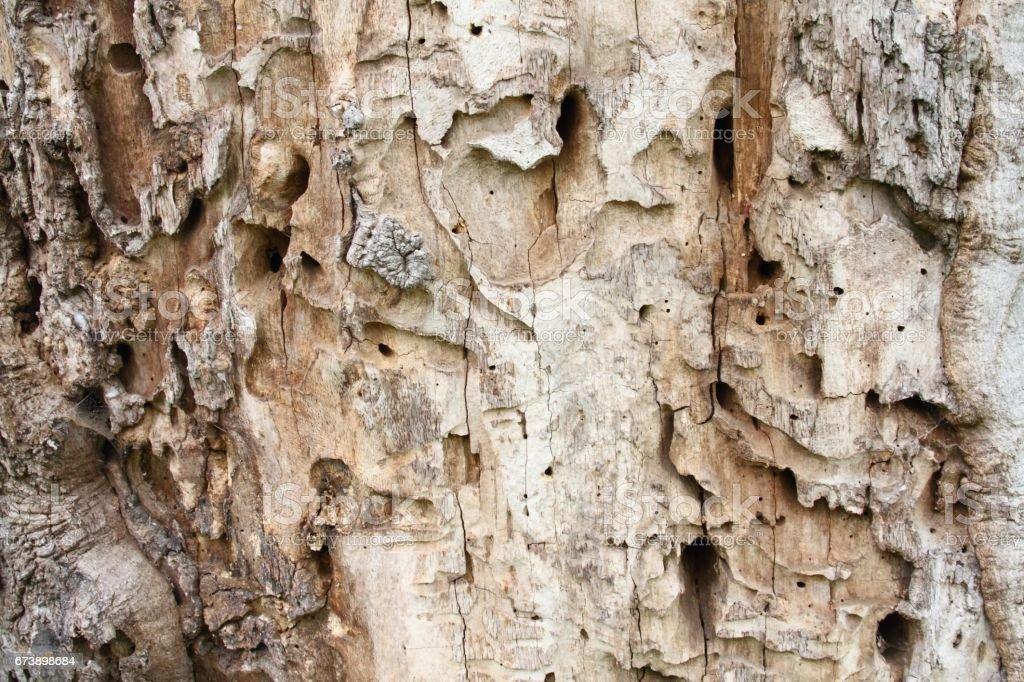 Vieux tronc d'arbre avec des trous d'insectes foreurs et PIC photo libre de droits