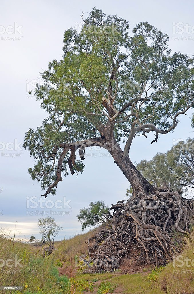 Old tree with exposed tangled roots in dry river gully stock photo