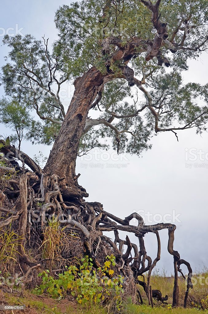 Old tree with exposed tangled roots stock photo