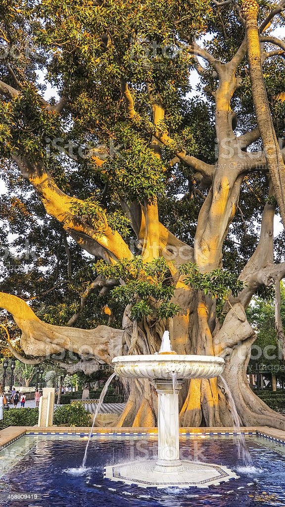 Old tree with fountain in Cadiz, Spain stock photo
