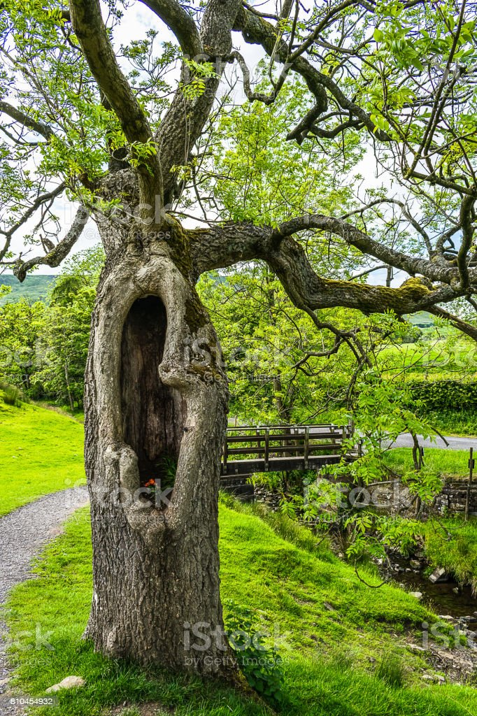 Old tree with hollow stock photo