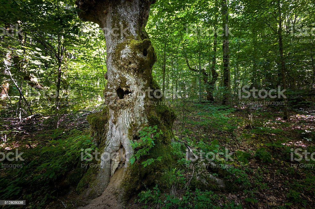 Old tree with hollow. Virgin forests of Biogradska mountain national stock photo