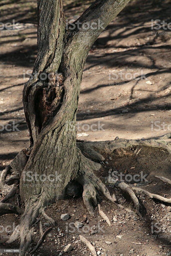 old tree with knothole royalty-free stock photo