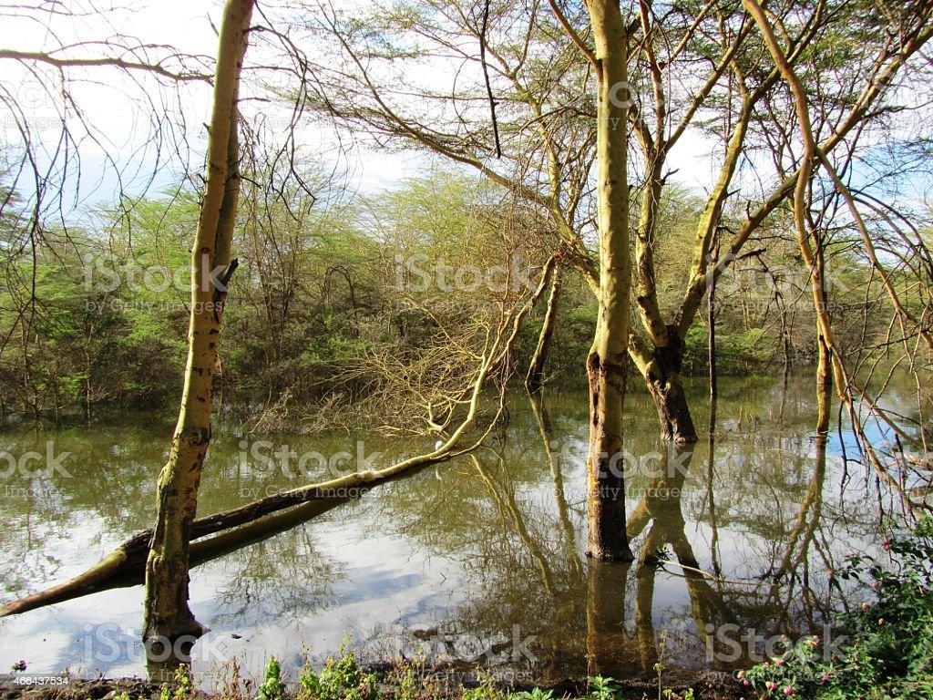 Old Trees at Lake Naivasha in Kenya stock photo