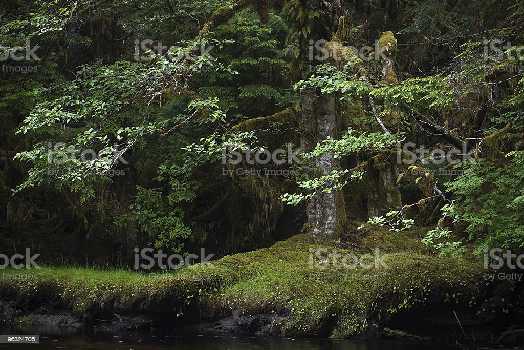 Old trees in an ancient B.C. forest stock photo