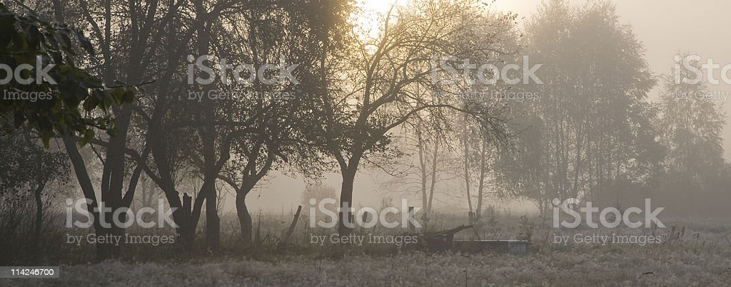 Old trees in misty morning royalty-free stock photo