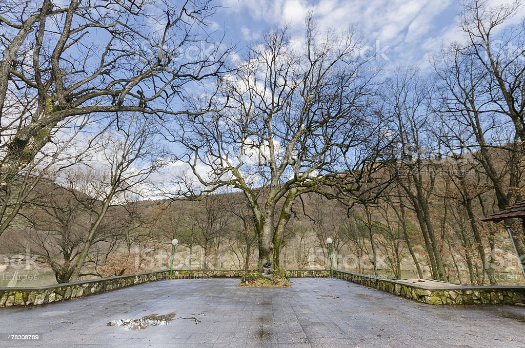 Old trees with bare branches royalty-free stock photo