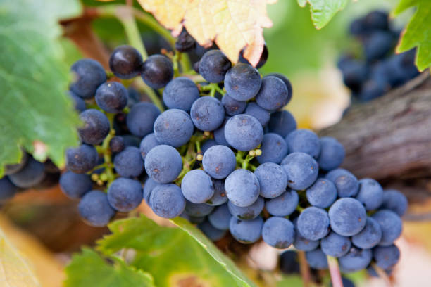 Old vine grapes in the Barossa Valley, South Australia near Adelaide stock photo