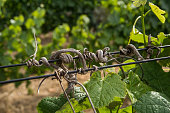 Old vine branches curled around a growth wire with new leaves sprouting below Cape Winelands South Africa