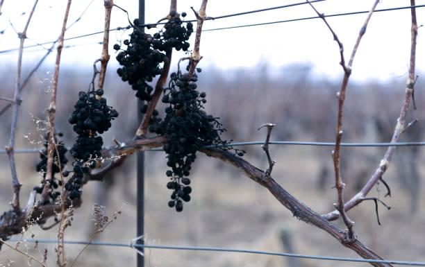 Old vine wineyard in winter stock photo