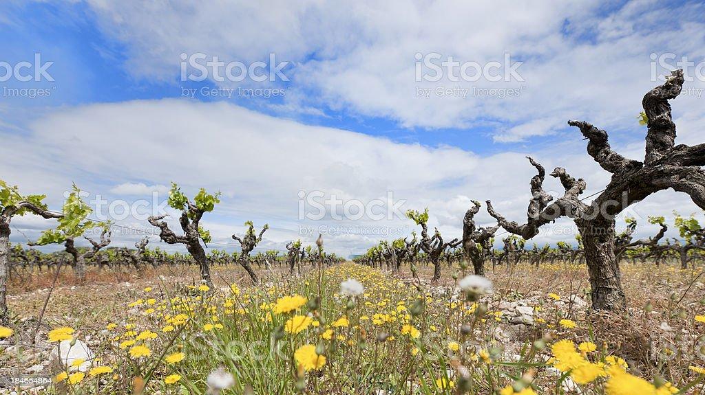 old vignoble dans la Vallée du Rhône, France - Photo