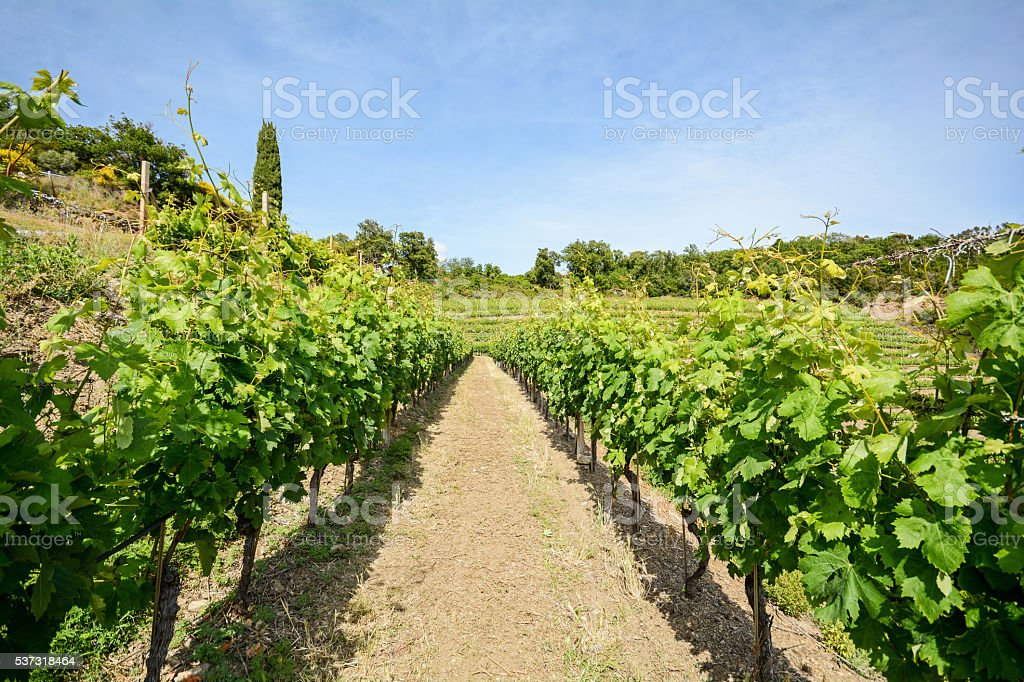 Old vineyard in the tuscany winegrowing area, Italy Europe stock photo
