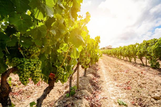 Vinhedos com uvas de vinho vermelhos na região Alentejo vinho perto de Évora, Portugal Europa - foto de acervo