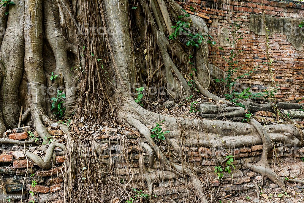Old wall covered in tree roots photo libre de droits