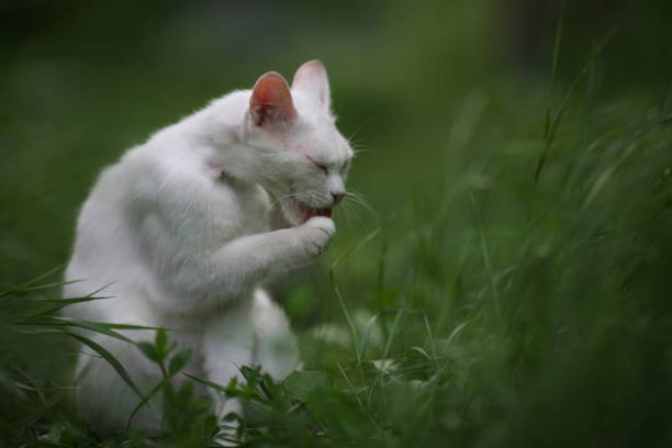Old white cat washes his foot stock photo