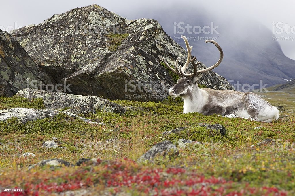 Old white reindeer resting in Lapland stock photo