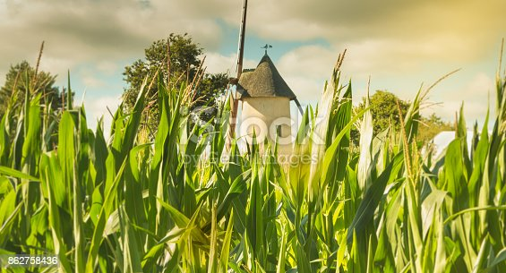 old windmill hidden behind corn cobs in France