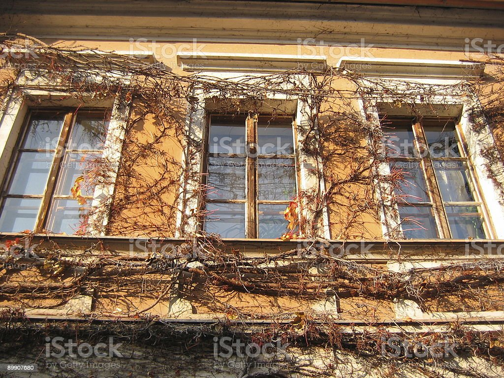 old windows with vines royalty-free stock photo