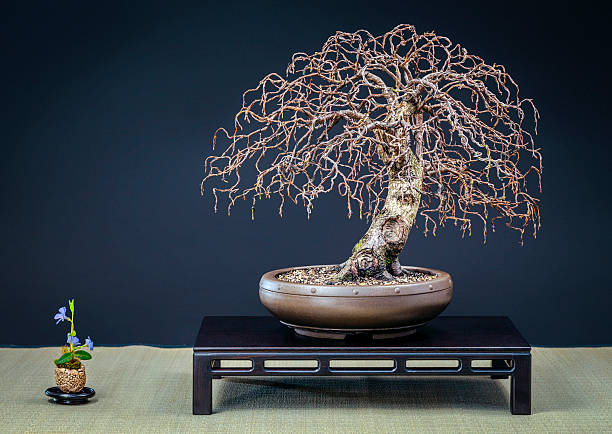 Old wired birch Bonsai – Foto