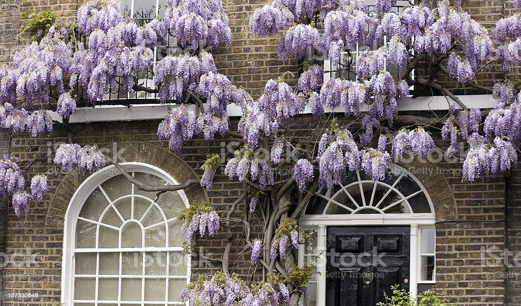 Old wisteria stock photo