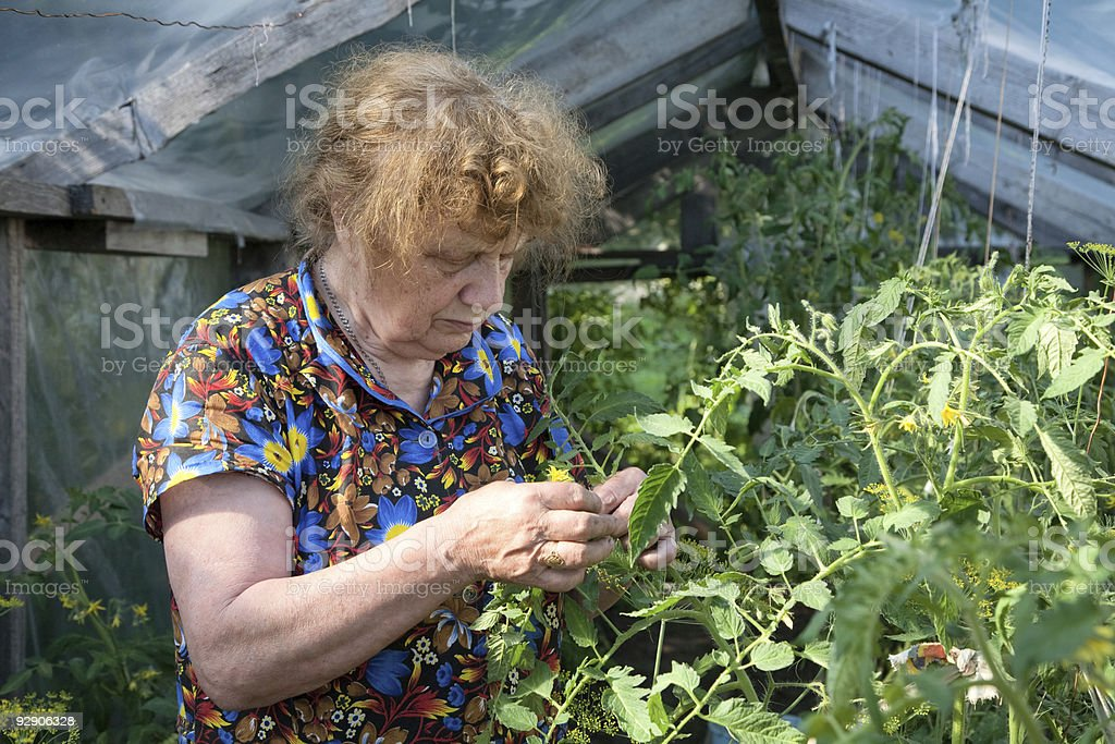 old woman in a hothouse examines tomatoes royalty-free stock photo