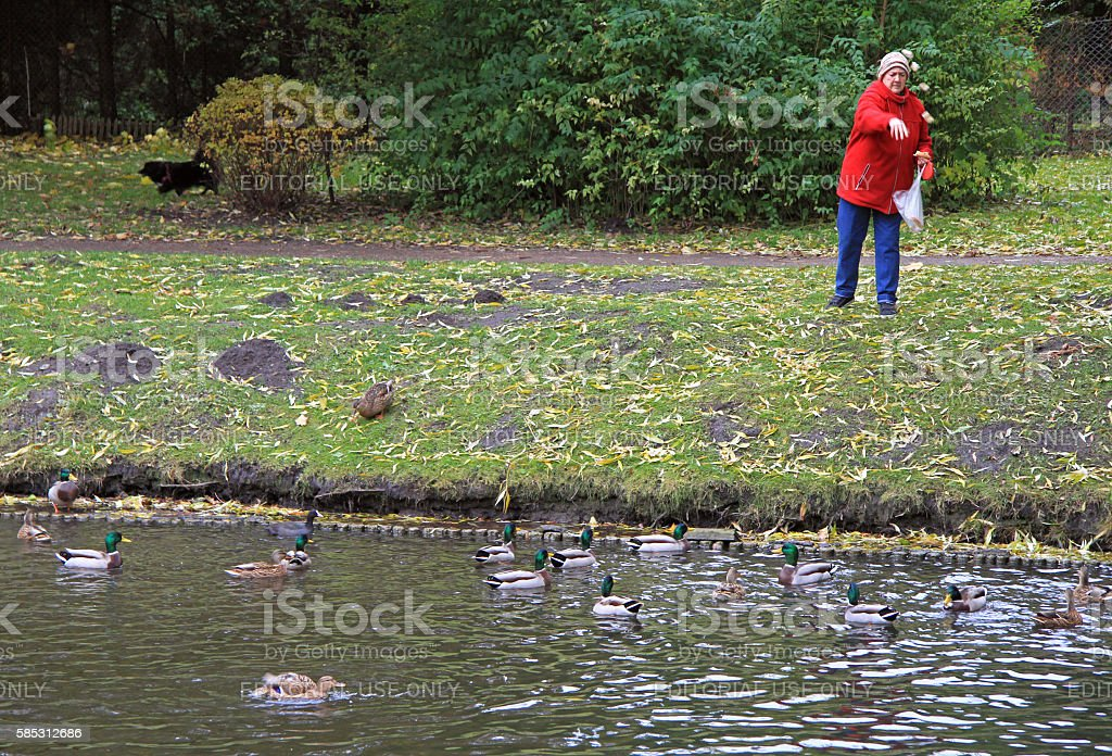 old woman is feeding ducks at the lake stock photo