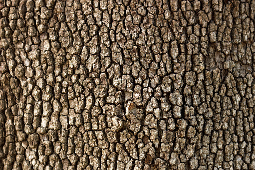 Old Wood Tree Texture Pattern Background in sunny day