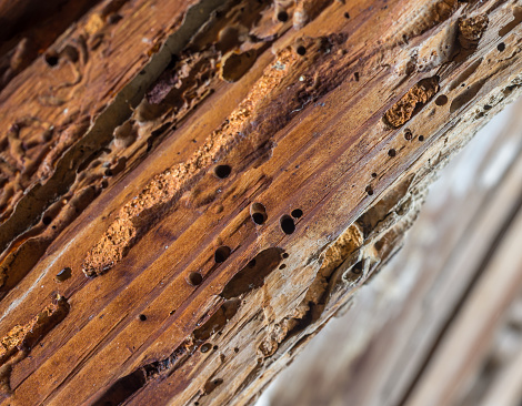 istock Old wooden beam affected by woodworm. Wood-eating larvae species beetle 819596144