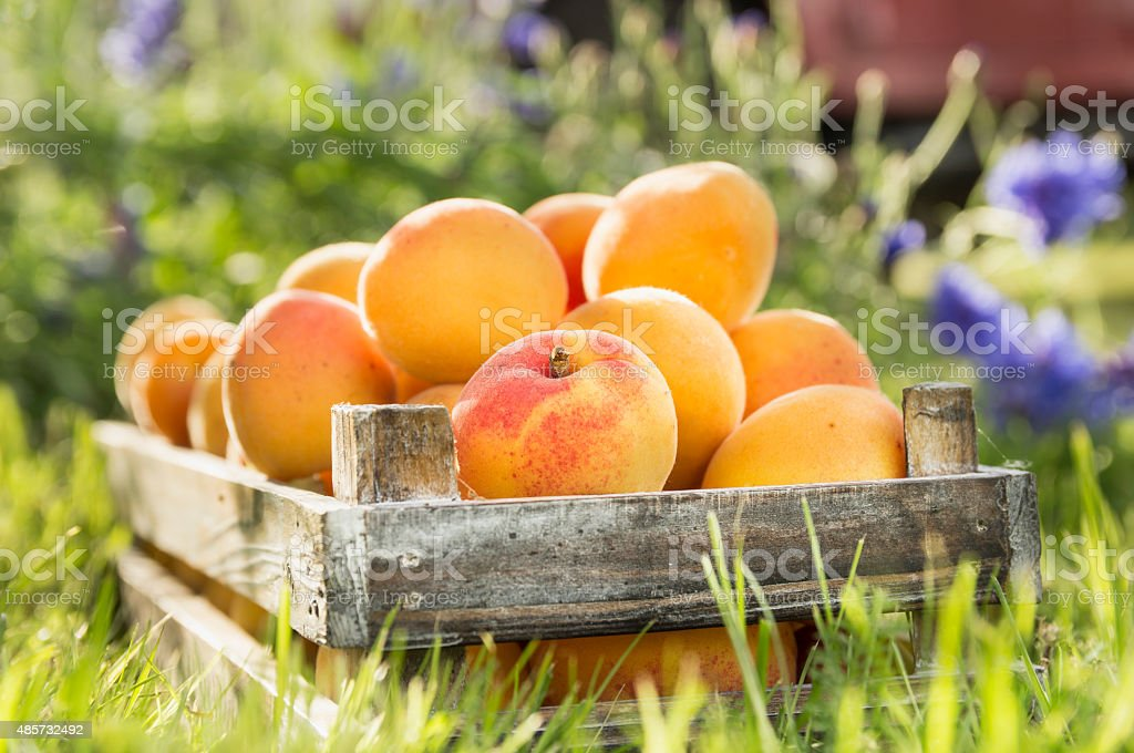 Old wooden box with apricots on garden nature background stock photo