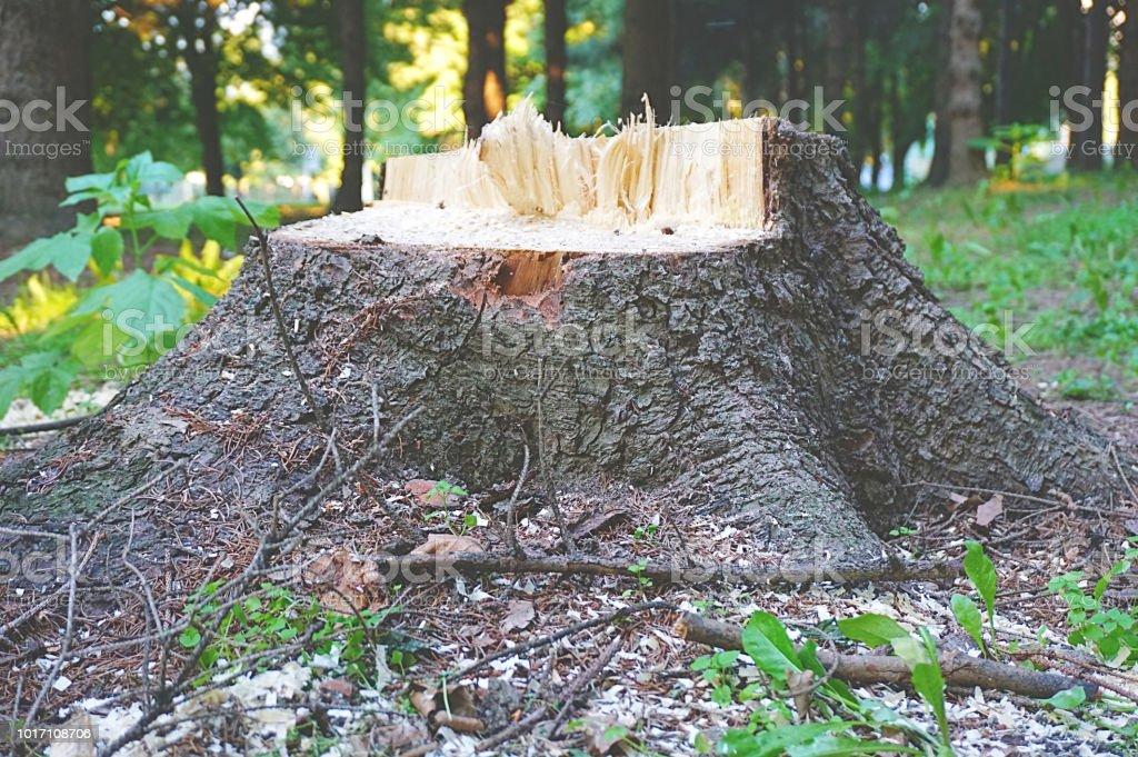 Alte Holzerne Gebrochen Baumstumpf Im Wald Lizenzfreies Stock Foto