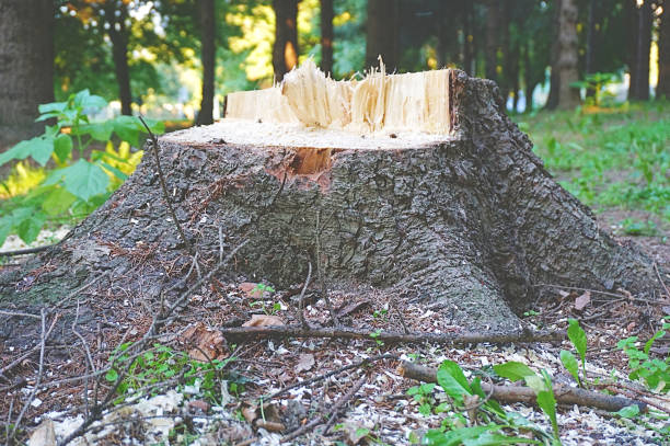 Old wooden broken tree stump in the forest Old wooden broken tree stump in the surround with green grass and forest grinding stock pictures, royalty-free photos & images