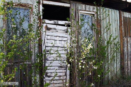 Old wooden door in poor condition and white flowers