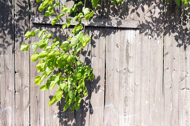 Old wooden fence grey color. Through a hole in the Old wooden fence grey color. Through a hole in the fence sprouted a branch of a tree with green young leaves. Through the large cracks visible greens. anachronistic stock pictures, royalty-free photos & images