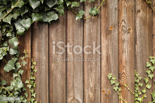 Ivy growing up an old wooden fence.