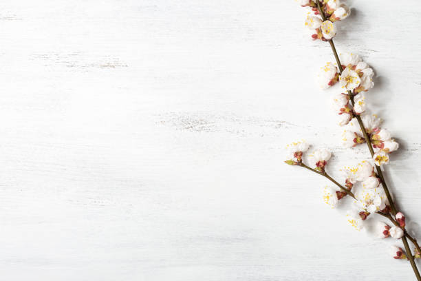 Old wooden shabby background with branches of blossoming apricot stock photo