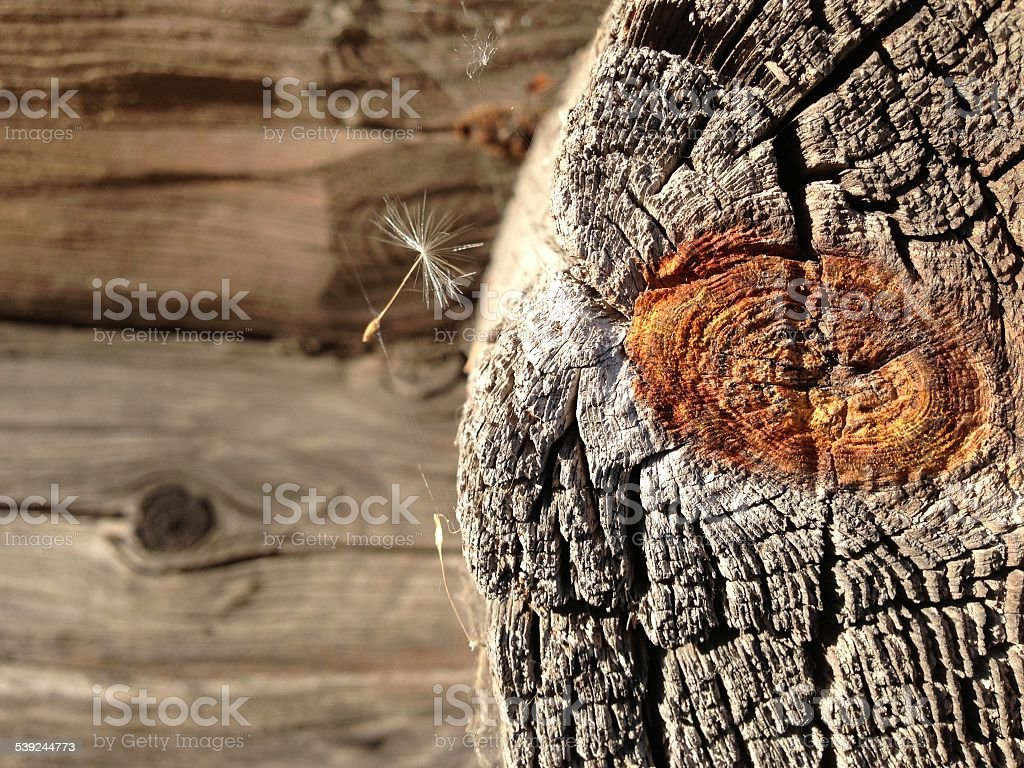 Old wooden wall close up with a dandelion seed stock photo