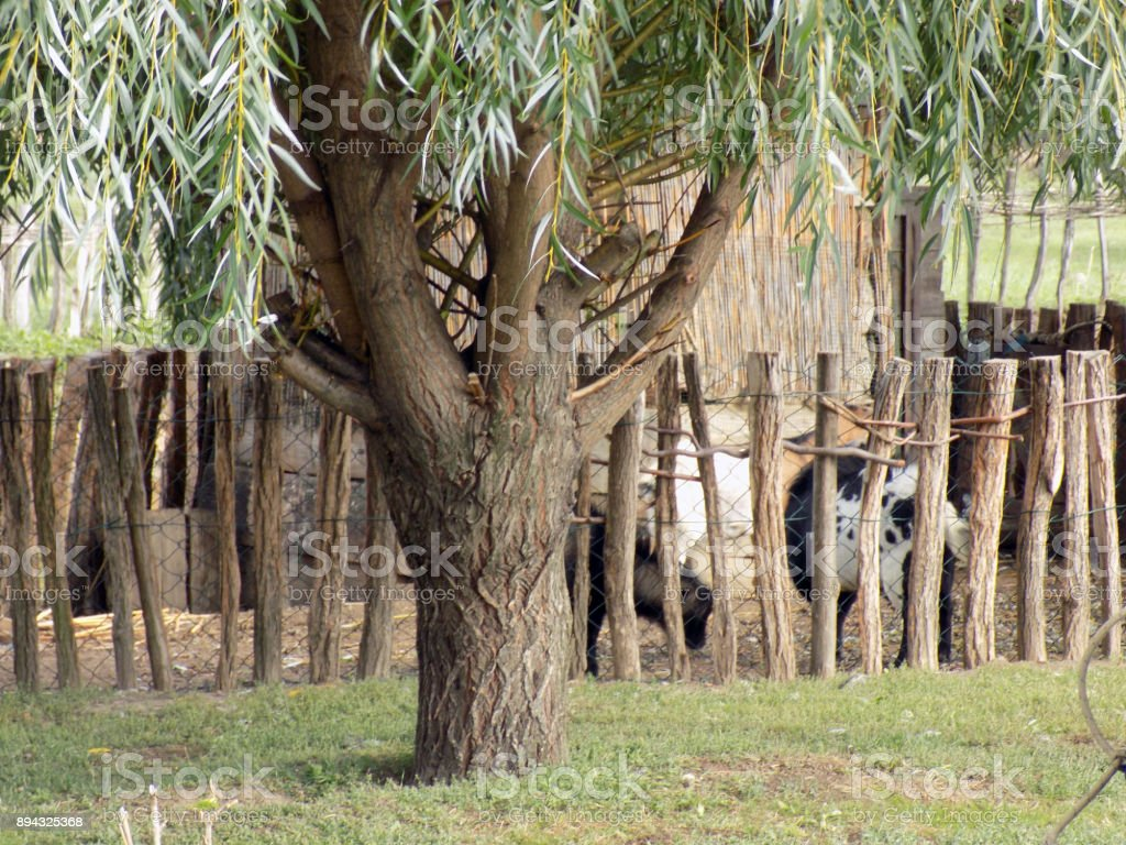 Old wooden wattle fence in the backyard on the farm stock photo