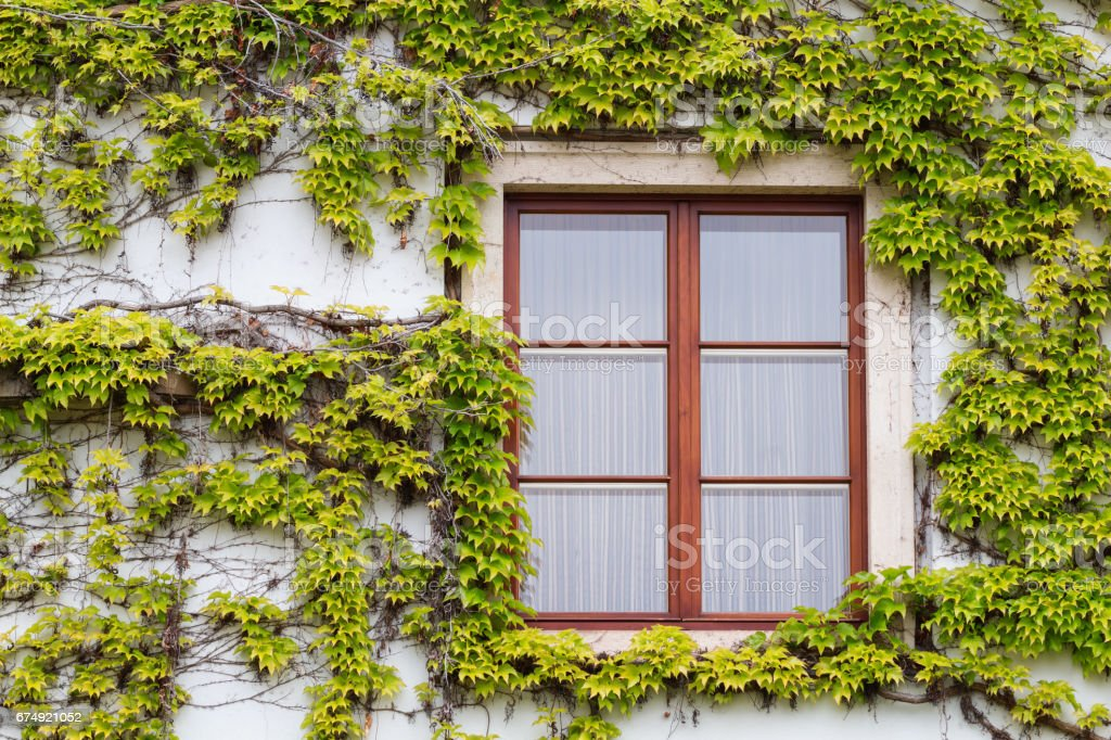 Old wooden window overgrown with ivy in fall colors. royalty-free stock photo