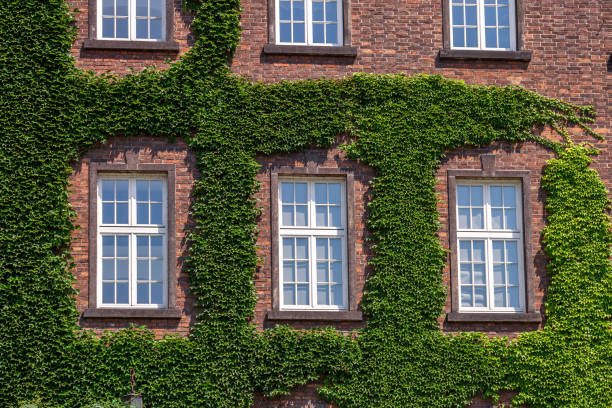 old wooden windows overgrown by ivy on house facade - ivy building imagens e fotografias de stock